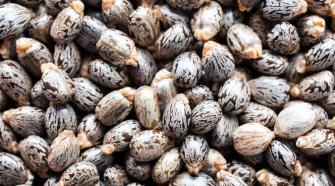 Castor bean oil used for PA11