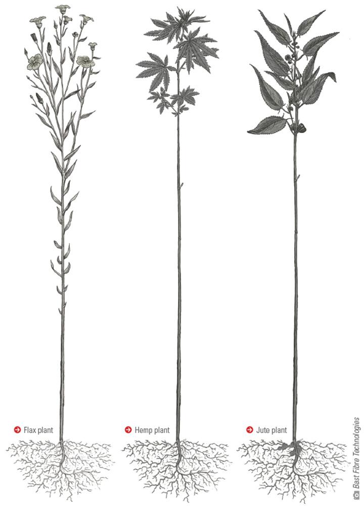 Flax, hemp and jute plants