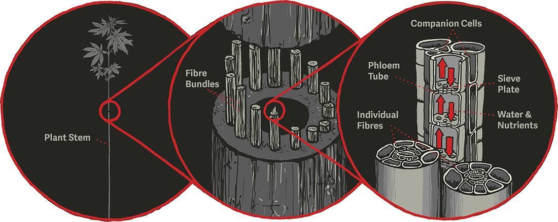 Diagram of Phloem structure