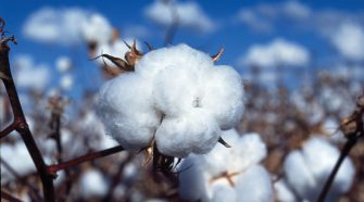 Cotton consumes 16 percent of all the insecticides and 7 percent of all herbicides used globally